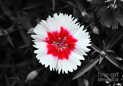 Dianthus Red And White Flower Decor Macro Color Splash Black And White Digital Art Poster by Shawn O'Brien