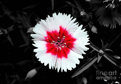 Dianthus Red And White Flower Decor Macro Color Splash Watercolor Digital Art Poster