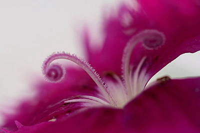 Poster featuring the photograph Dianthus Stamen by Larry Trupp