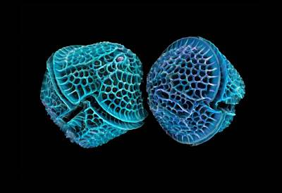 Diatoms, Sem Poster by Science Photo Library
