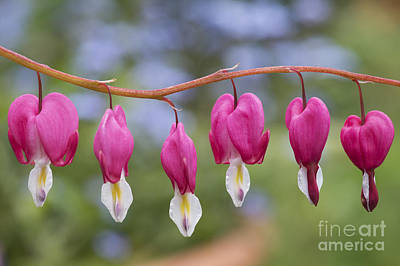 Dicentra Spectabilis Bleeding Heart Flowers Poster by Tim Gainey