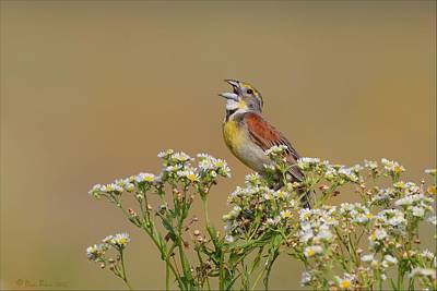 Dickcissel On Wild Daisies Poster by Daniel Behm