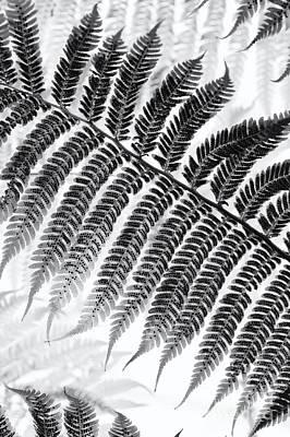 Dicksonia Antarctica Tree Fern Monochrome Poster