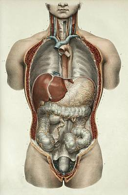 Digestive System Poster by Science Photo Library