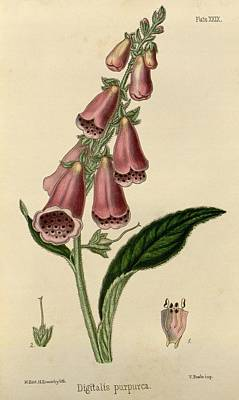 Digitalis  Poster by Philip Ralley