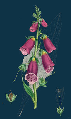 Digitalis Purpurea Purple Foxglove Poster by English School