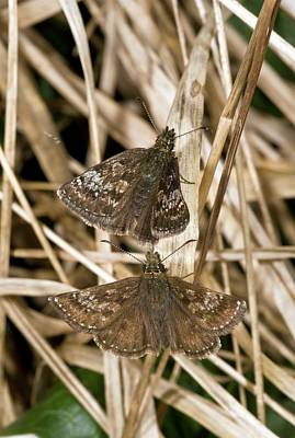 Dingy Skipper Butterflies Poster by Bob Gibbons