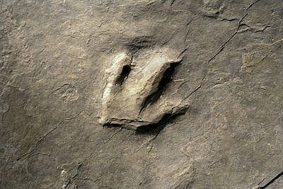 Dinosaur Track (eubrontes) Poster by Science Stock Photography