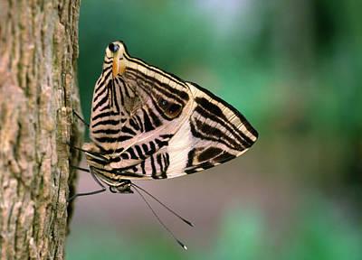 Dirce Beauty Butterfly Poster by Nigel Downer
