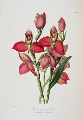 Disa Grandiflora Poster by British Library