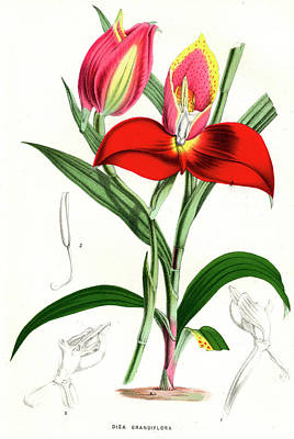 Disa Grandiflora Poster by Collection Abecasis