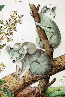 Discovery Of Koalas Poster by Paul D Stewart