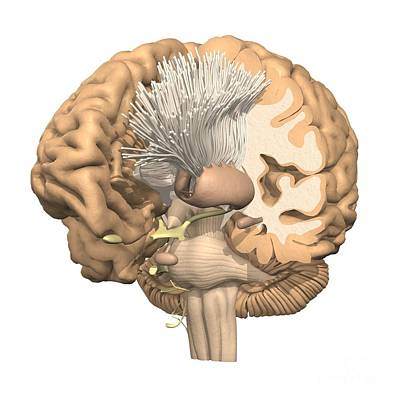 Dissected Brain With Basal Ganglia Poster by Medical Images, Universal Images Group