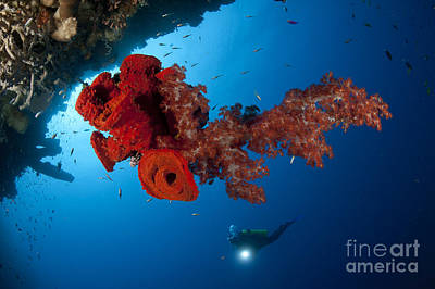 Diver Looks On At A Bright Red Soft Poster by Steve Jones