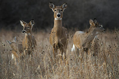 Doe And Yearlings Poster