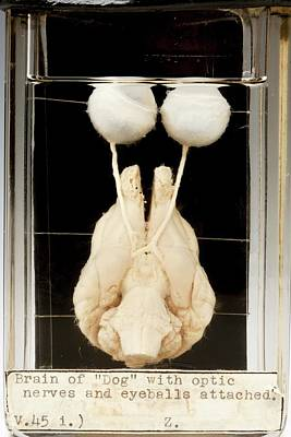 Dog Brain And Eyes Poster by Ucl, Grant Museum Of Zoology