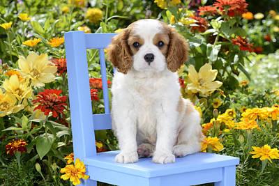 Dog On Blue Chair Poster by Greg Cuddiford