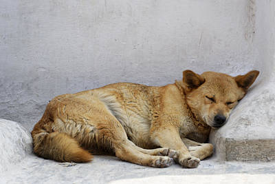 Dog Sleeping Poster