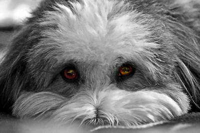 Poster featuring the photograph Coton Eyes by Keith Armstrong