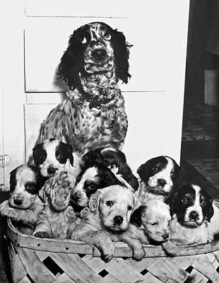 Dog With Twelve Puppies Poster