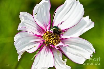Dogbane Beetle Eating Flower Poster