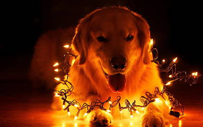 Doggy Wrapped In Christmas Lights Poster by Doc Braham