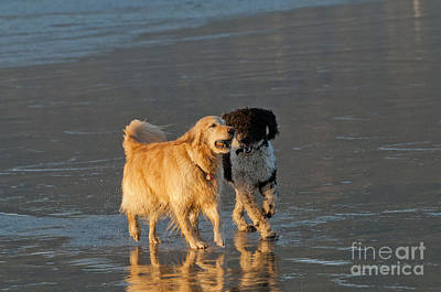 Dogs Playing On Ocean Beach Poster
