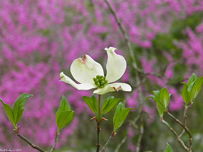 Dogwood Bloom Against A Redbud Poster by Nick Kirby
