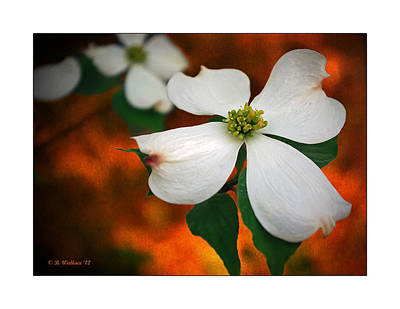 Dogwood Blossom Poster by Brian Wallace