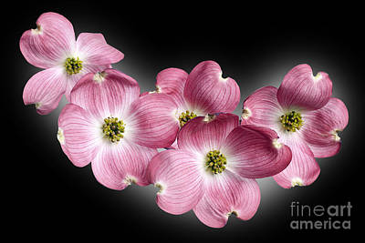Dogwood Blossoms Poster by Tony Cordoza
