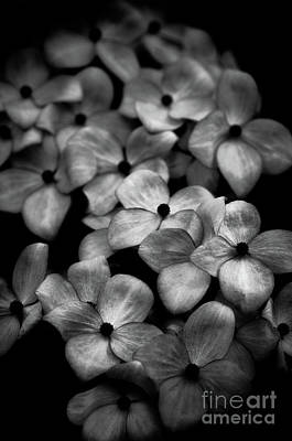 Dogwood Blossoms Poster by Venetta Archer