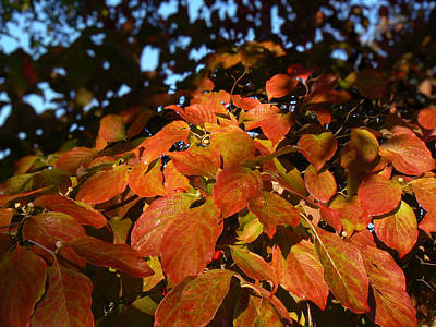 Dogwood In Autumn Colors Poster by MM Anderson