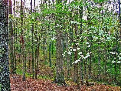 Dogwood In Meriwether Lewis Campground At Mile 386 On Natchez Trace Parkway-tennessee Poster