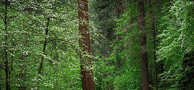Dogwood Trees In Springtime At Yosemite Poster by Panoramic Images