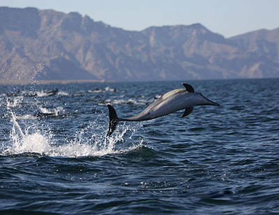 Poster featuring the photograph Dolphin Dance by Kandy Hurley