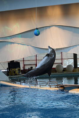 Dolphin Show - National Aquarium In Baltimore Md - 1212237 Poster by DC Photographer