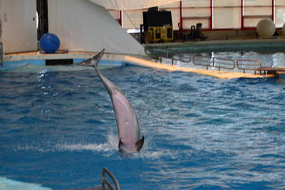 Dolphin Show - National Aquarium In Baltimore Md - 1212269 Poster by DC Photographer