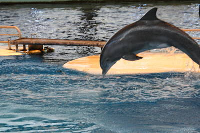 Dolphin Show - National Aquarium In Baltimore Md - 121227 Poster by DC Photographer