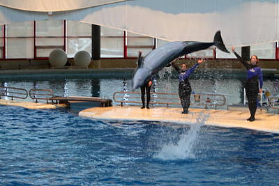 Dolphin Show - National Aquarium In Baltimore Md - 1212272 Poster