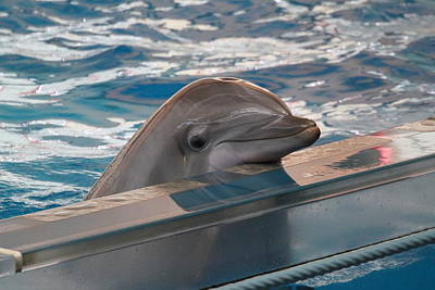 Dolphin Show - National Aquarium In Baltimore Md - 1212281 Poster