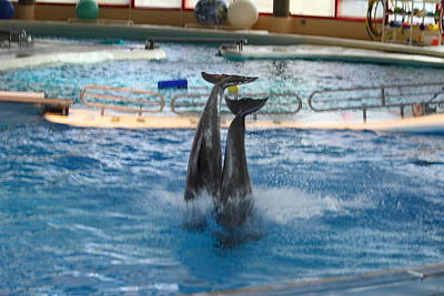 Dolphin Show - National Aquarium In Baltimore Md - 121281 Poster