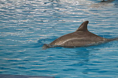 Dolphin Show - National Aquarium In Baltimore Md - 12129 Poster