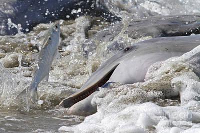Dolphin Strand Feeding 2 Poster