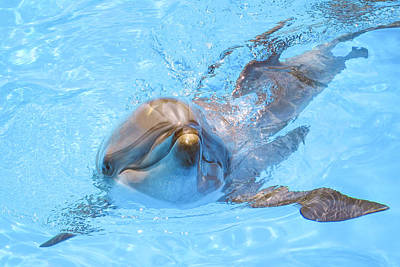 Dolphin Swimming Poster