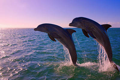 Dolphins Leaping From Sea, Roatan Poster by Keren Su