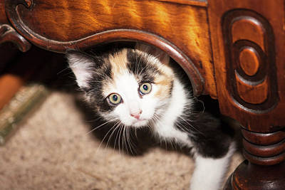 Domestic Calico Kitten Peeking Poster
