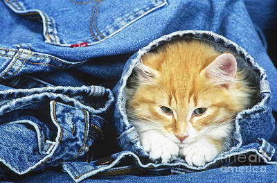 Domestic Cat In Bluejeans Poster by Tierbild Okapia