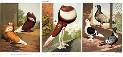 Domestic Fancy Pigeon Breeds Poster