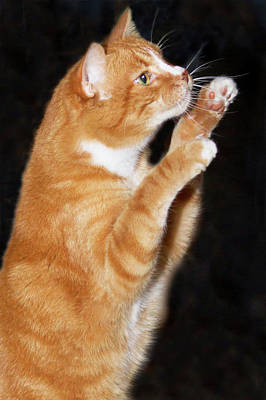 Domestic Shorthair Cat Up On Hind Legs Poster by Piperanne Worcester