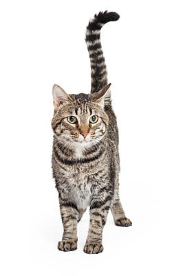 Domestic Shorthair Tabby Cat Standing Poster